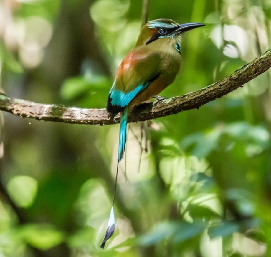 Turquoise-browed Motmot-3