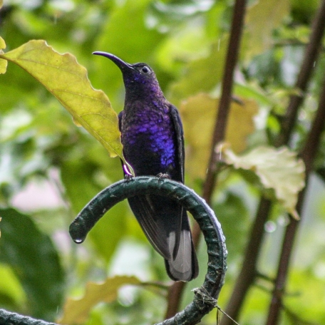 Violet Sabrewing 2015-11-25 La Paz Waterfall Gardens, Heredia, Costa Rica