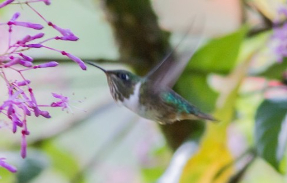 Volcano Hummingbird-1