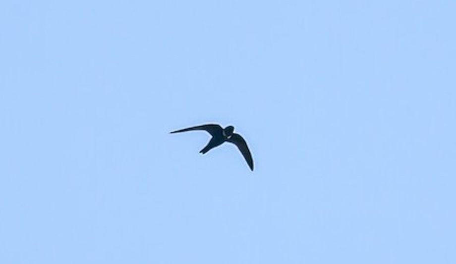 White-collared Swift-1(a)
