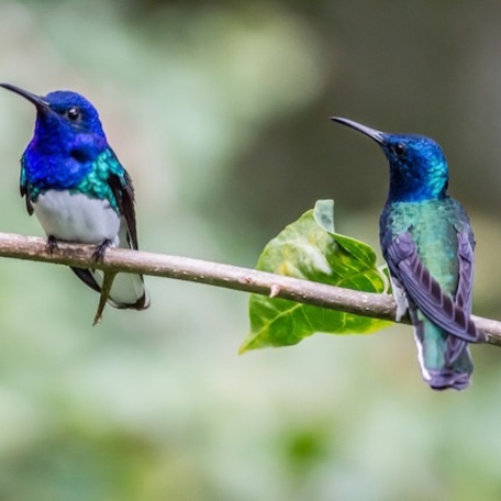 White-necked Jacobin 2015-11-25 Chilamate Rainforest Eco Retreat, Heredia, Costa Rica