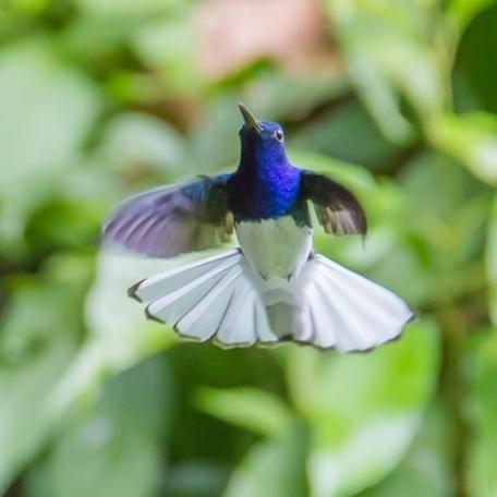 White-necked Jacobin 2015-11-25 Chilamate Rainforest Eco Retreat, Heredia, Costa Rica