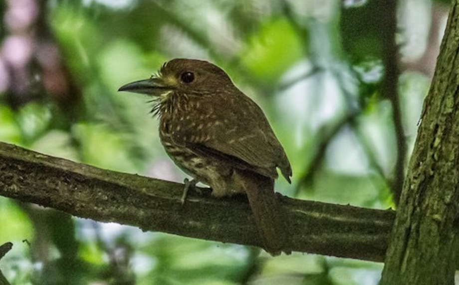 White-whiskered Puffbird-1