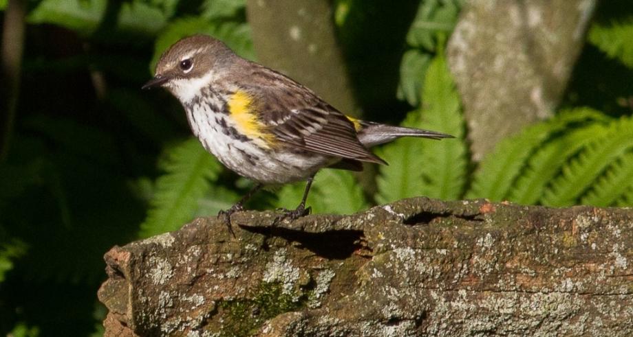 *Yellow-rumped Warbler (Myrtle) 126858381 copy