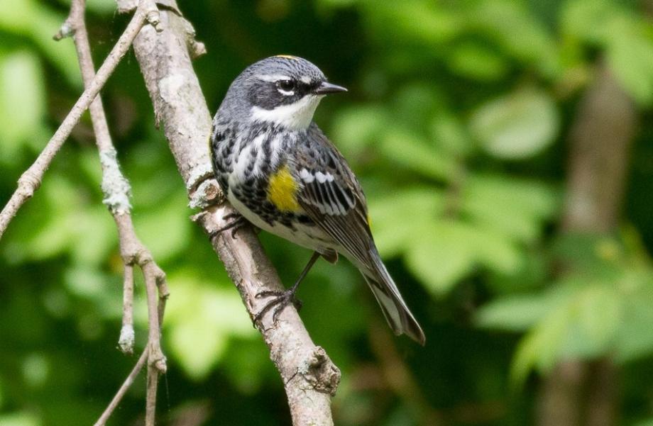 *Yellow-rumped Warbler (Myrtle) 126859021 copy
