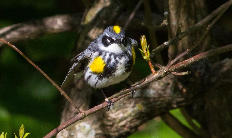 *Yellow-rumped Warbler (Myrtle) 58413161 copy