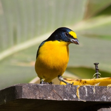 Yellow-throated Euphonia 2015-12-04 Curi-Cancha Refugio, Costa Rica