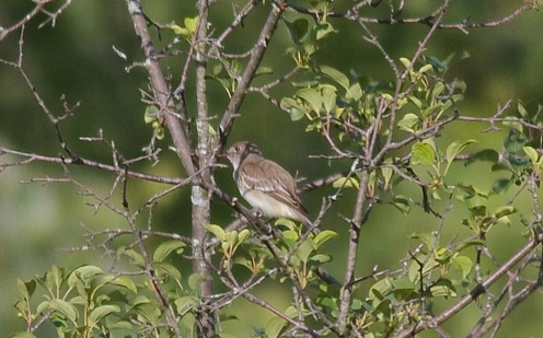 Alder Flycatcher 2014-06-21 Cram Rd. Powerline, Addison Co.,, VT-1