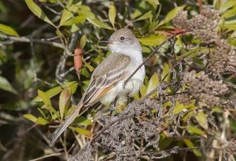 Ash-throated Flycatcher 2017-01-01 Cape Henlopen SP--Gordon's Pond, Sussex Co., DE-6