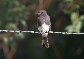 Black Phoebe 2019-09-12 Canoa Black-throated Sparrow 2019-09-12 Canoa Ranch Conservation Park, Pima Co., Arizona-2