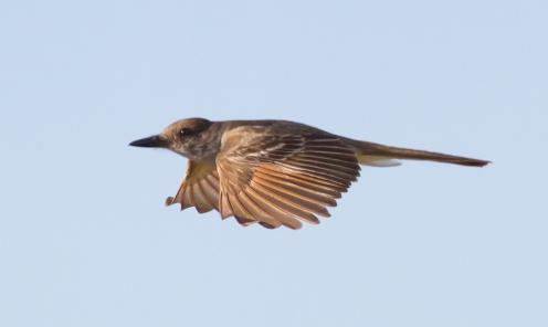 Brown-crested Flycatcher 2019-07-28 Yard, Quail Creek, Green Valley, Arizona-5