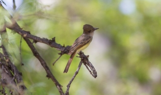 Dusky-capped Flycatcher 2018-04-11 Santa Gertrudis Lane, Santa Cruz Co., Arizona-1