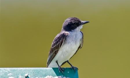 Eastern Kingbird 2015/07/22 Bombay Hook NWR, Kent Co., DE - 15