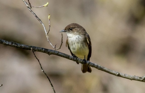Eastern Phoebe 2016-03-29 Squire Cheyney Farm Park, Chester Co., PA-1