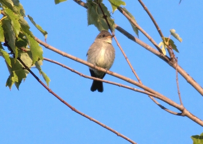 Eastern Wood-Pewee 2015-09-24 Marsh Creek S.P., Chester Co., PA-4