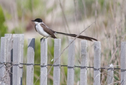 Fork-tailed Flycatcher 2017-06-19 Cape May, Cape May Co., NJ-5