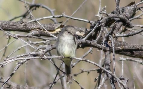 Gray Flycatcher 2016-02-21 Catalina S.P., Pima Co., Arizona-2