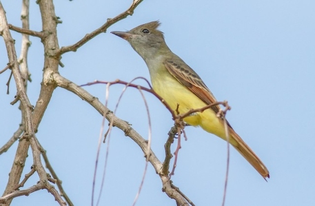Great Crested Flycatcher 2014-09-12 Cape May, Cape May Co., NJ-2