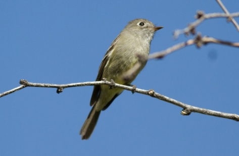 Hammond's Flycatcher 2018-04-17 Florida Canyon, Pima Co., Arizona-1