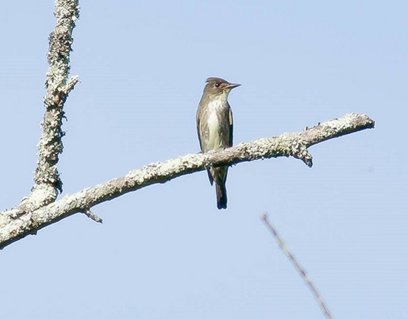 Olive-sided Flycatcher 2016-06-02 Big Bend Farm, Delaware Co., PA-1
