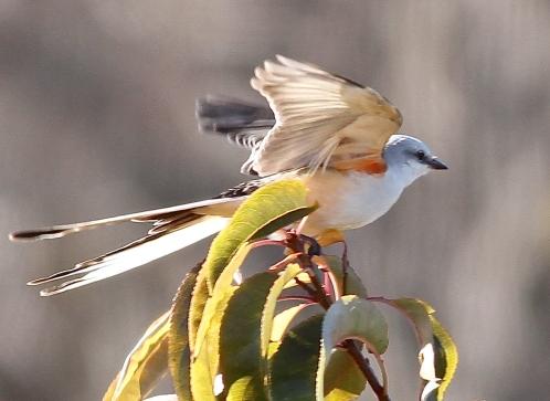 Scissor-tailed Flycatcher 2013-11-18 Bartram's Garden, Philadelphia Co., PA-22