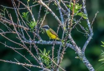 Social Flycatcher 2015-11-25 Hotel Bougainvillea, Heredia, Costa Rica-1
