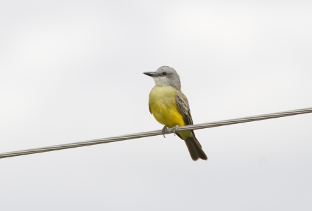 Tropical Kingbird 2019-09-10 Tubac, Santa Cruz Co., Arizona-8