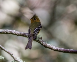 Tufted Flycatcher 2015-11-30 Trogón Lodge, San José, Costa Rica-3