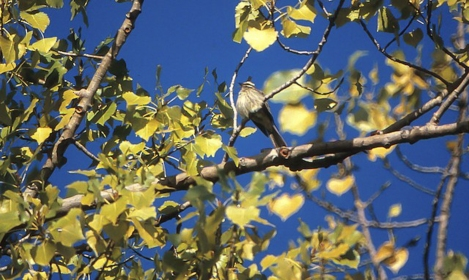Variegated Flycatcher 1993-10-18 Toronto Islands, ON-9