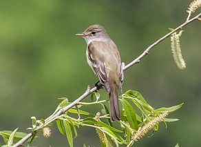 Willow Flycatcher 2015-05-11 Chambers Lake, Chester Co., PA-5