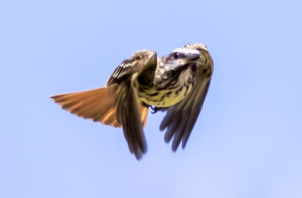 Sulphur-bellied Flycatcher 2020-05-26 Madera Canyon, Pima Co., Arizona